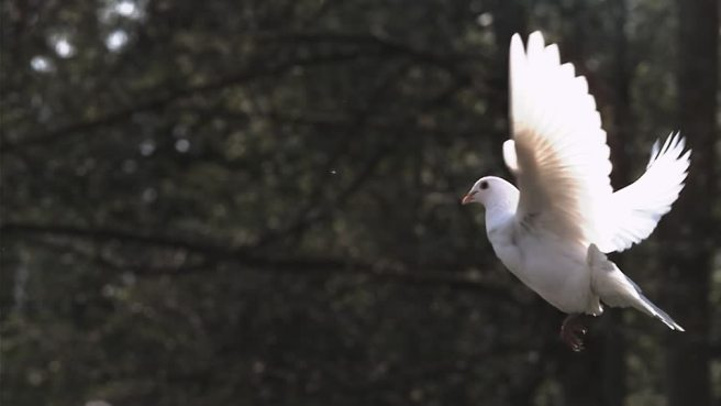 671036217-peace-dove-white-dove-spread-wings-wing-animal