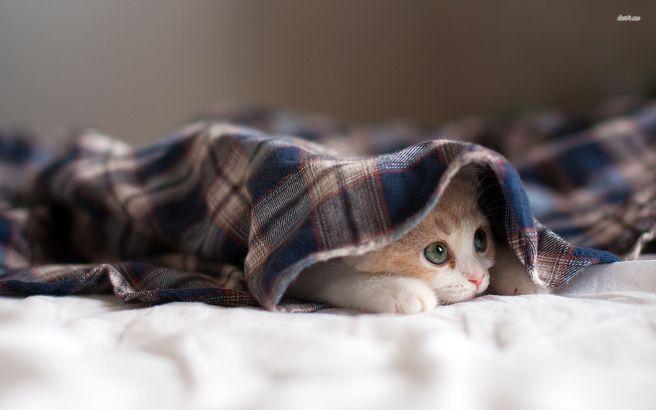 cat-under-blanket-1