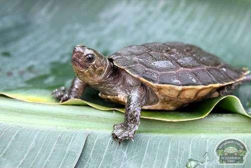 sulawesi-forest-turtle-2012-04-11-5bizs-r5dwtmk