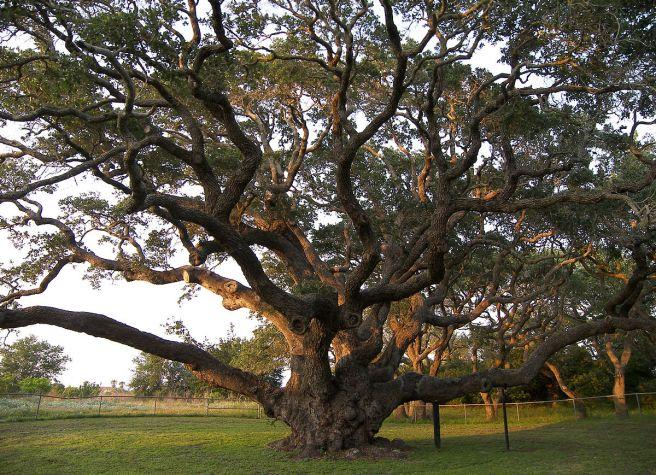 1200px-big_tree